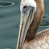 Pelican swimming in the harbor at Monterey