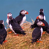 Group of puffins, Iceland
