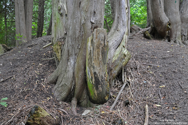 Root Strength