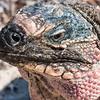 Bahamian rock iguana (Cyclura cychlura)