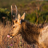 Tule elk in the early morning