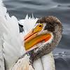 White pelican grooming