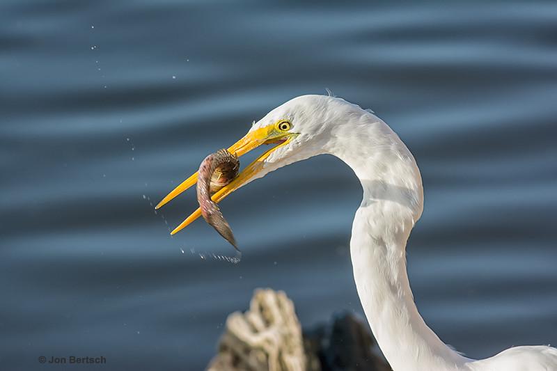 Giant egret having a good day fishing.