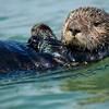 Sea Otter, Monterey Bay