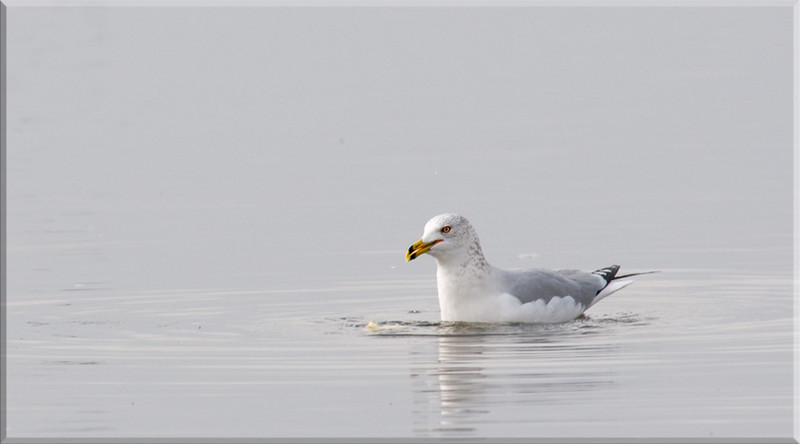 Gull in gray