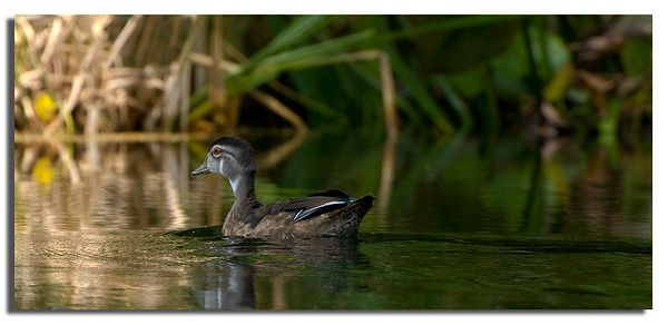 Female wood duck swims into the sunlight