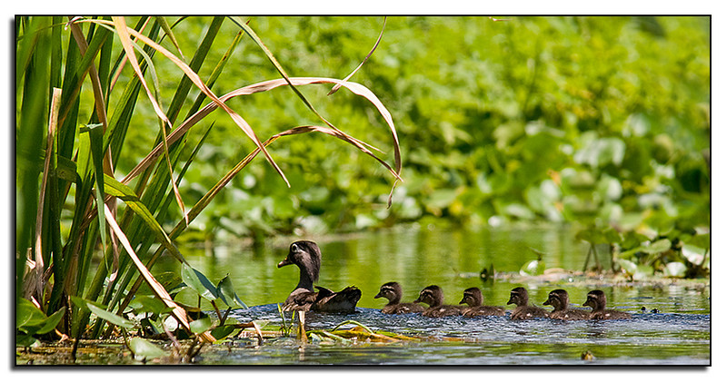 Female wood duck and babies