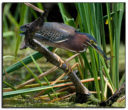 Green heron catches something