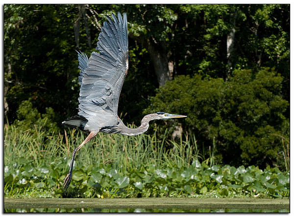 Great Blue Heron on Take-off