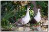 Goose pair