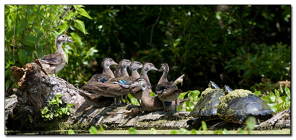 Female wood ducks gather on a log.