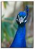 The peacock stare