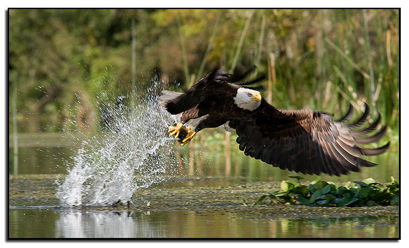 Eagle gets a fish