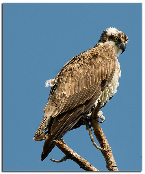 Very intent osprey