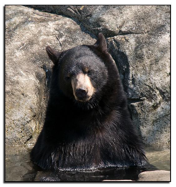 Bear in pool
