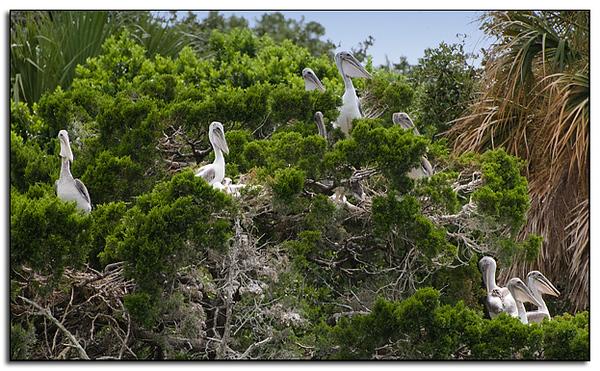 Juvenile  brown pelicans