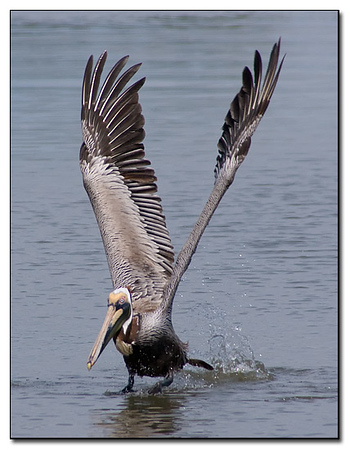Pelican takes off