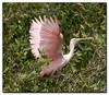 Roseate spoonbill in Cedar Key, FL
