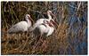 Four ibis