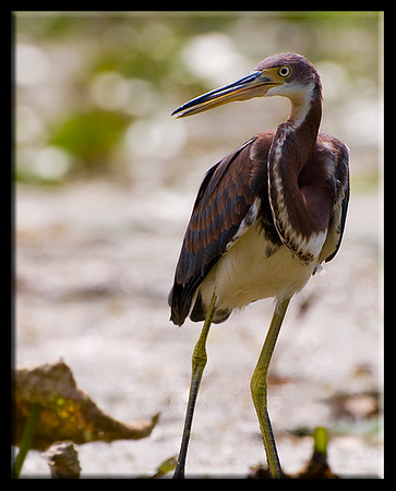 Tricolored heron in the morning