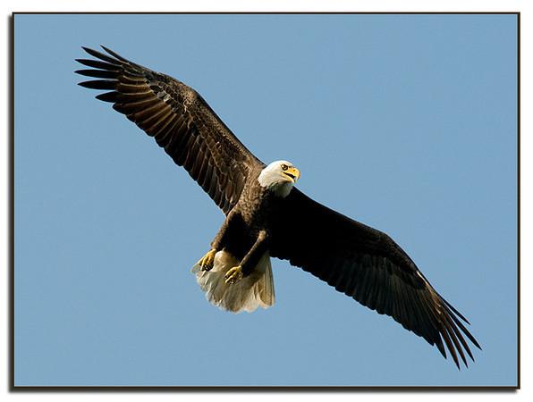 Eagle soars overhead