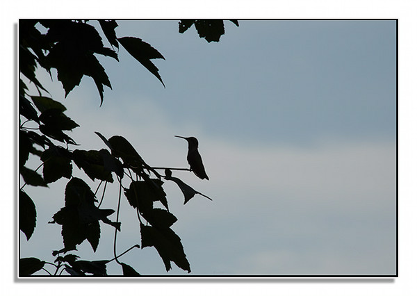 Hummingbird in a tree