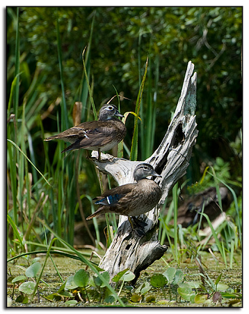 Female wood ducks
