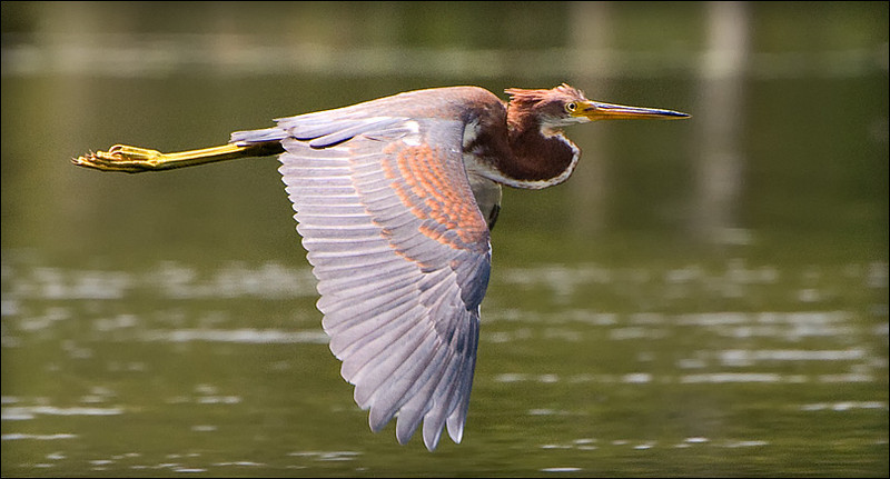 Tricolored heron flies