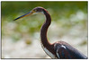 Tricolored heron up close