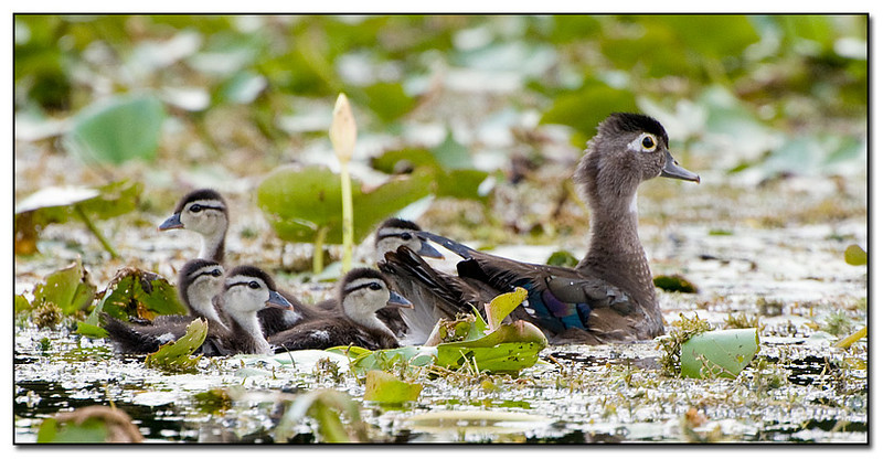 Mother wood duck and babies