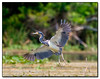 Tricolored heron takes off