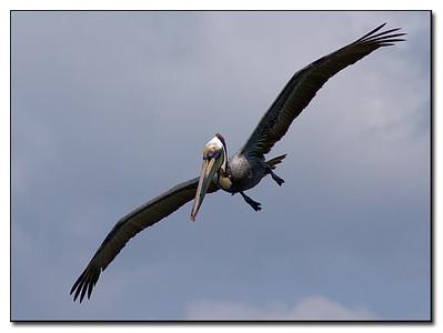 Pelican spots a fish