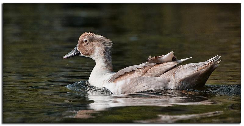 Female goose