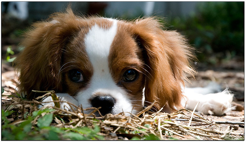 Sawyer, our Cavalier King Charles Spaniel puppy
