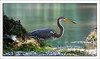 Tricolored heron at a freshwater spring