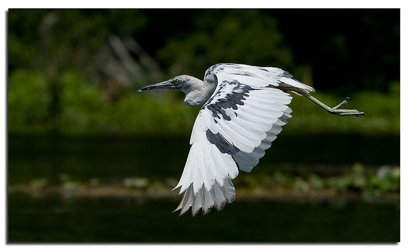 Juvenile little blue heron during color change