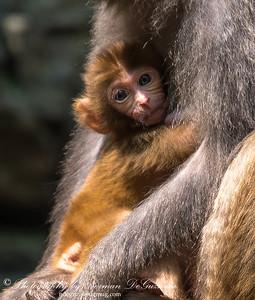 Rhesus monkeys at the village
