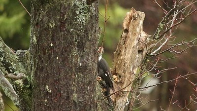 Pileated Woodpecker_show