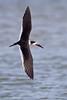 Black Skimmer in flight, Aransas County, Texas