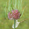 This is the flower head of a species of Allium, Allium vineale is a bit of a nuisance but pulls up fairly easily.