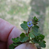 Persian Speedwell also known as Bird's Eye (Veronica persica)