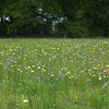 I love the field looking like this, a mix of colours and flowers. Sadly, I have to mow it to keep the nasty weeds down.
