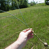 This is the whole plant of Allium vineale showing the onion like bulb at the base.
