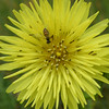 I believe this flower to be Pyrrhopappus species, False Dandelion It grows wild in the field.