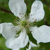Sawtooth Blackberry (Rubus argutus) flower.