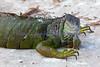 bored iguana?