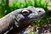 Komodo Dragon, <br /> Maylasia