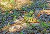 Iguanas mating