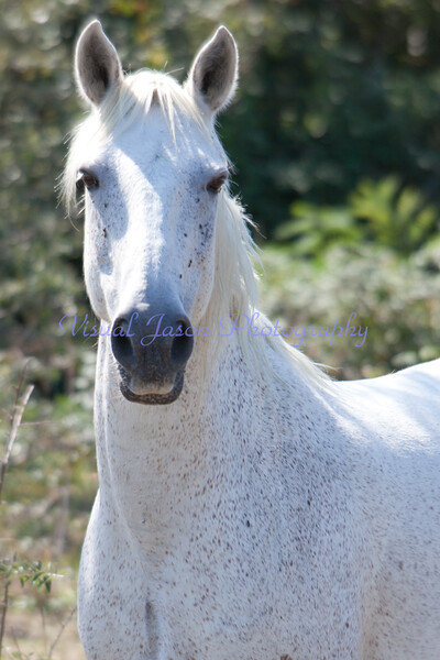 a white horse of the Camargue, France