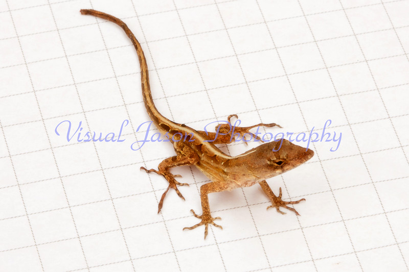 graphical lizard<br /> (5 squares per inch)
